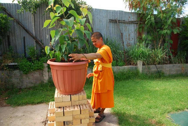 Bodhi tree transplantation